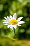Fleurs simples d'un buisson de marguerites des prés Photos libres de droits