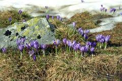 Fleurs spécifiques de printemps - safran Photos stock