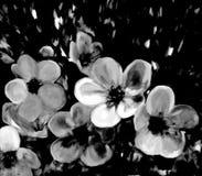 Fleurs stylisées de cerise dans des couleurs noires et blanches Images libres de droits
