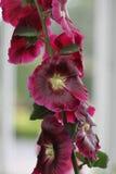 Fleurs sur la vigne Photographie stock