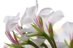 Fleurs sur le blanc Images libres de droits