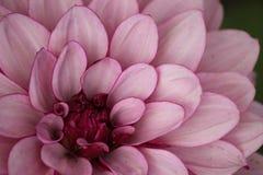 Fleurs sur le criffel Photographie stock libre de droits