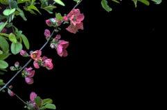 Fleurs sur le fond noir - fleurs de floraison colorées de ressort des buissons et des arbres Images libres de droits