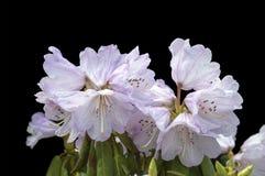 Fleurs sur le fond noir - fleurs de floraison colorées de ressort des buissons et des arbres Photo libre de droits