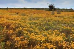 Fleurs sur les dunes sur la côte ouest Image stock