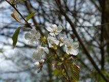 Fleurs sur un arbre Images libres de droits