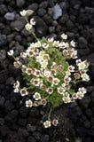 Fleurs sur une lave d'un volcan Photographie stock