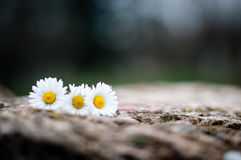 Fleurs sur une pierre Photographie stock libre de droits