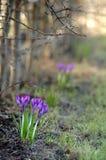 Fleurs tôt de safran de source Images libres de droits