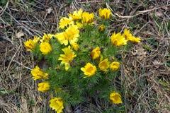 Fleurs tôt de steppe et de pré de ressort, vernalis d'Adonis, l'oeil du faisan photo libre de droits