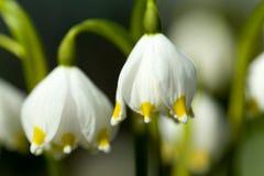 Fleurs tôt de flocon de neige de ressort Images libres de droits
