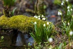 Fleurs tôt de flocon de neige de ressort Photos libres de droits