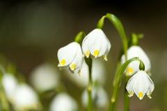 Fleurs tôt de flocon de neige de ressort Photo libre de droits