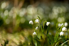 Fleurs tôt de flocon de neige de ressort Image stock