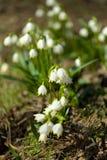 Fleurs tôt de flocon de neige de ressort Photographie stock