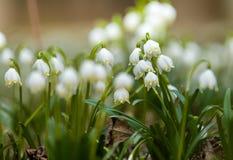 Fleurs tôt de flocon de neige de ressort Photographie stock libre de droits