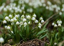 Fleurs tôt de flocon de neige de ressort Photo stock