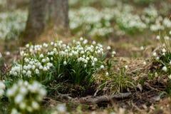 Fleurs tôt de flocon de neige de ressort Photos stock