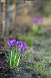 Fleurs tôt de safran de source Photos stock