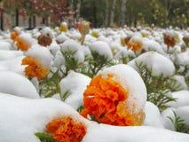 Fleurs Tagetes dans le parterre après les premières chutes de neige Macro photographie stock libre de droits