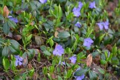 Fleurs tapissées éternelles de ressort, bigorneaux ukrainiens, bigorneau avec les fleurs bleues sensibles et les belles feuille photo libre de droits