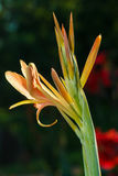 Fleurs, tir indien Photographie stock