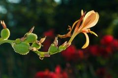 Fleurs, tir indien Image stock