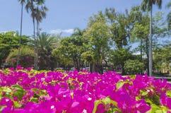 Fleurs Trinitarian avec le fond tropical de paysage et le ciel bleu photos libres de droits