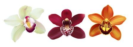 Fleurs tropicales de Cymbidium d'orchidée - vecteur Image libre de droits