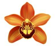 Fleurs tropicales de Cymbidium d'orchidée - vecteur Images libres de droits