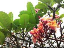 Fleurs tropicales de Frangipani Images stock