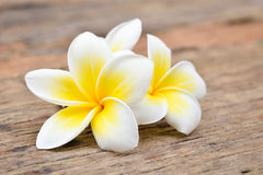 Fleurs tropicales de Frangipani, fleurs de Plumeria Photographie stock libre de droits