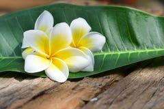 Fleurs tropicales de Frangipani, fleurs de Plumeria Photos libres de droits