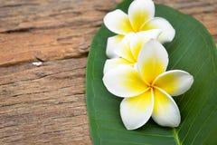 Fleurs tropicales de Frangipani, fleurs de Plumeria Photo stock