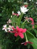 Fleurs tropicales en fleur, brauty du Sri Lanka Image stock