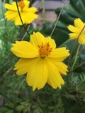 Fleurs tropicales en fleur, nature de Sri Lanka Images stock