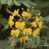 Fleurs tropicales jaunes Photos libres de droits