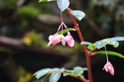 Fleurs tropicales roses sensibles pendant d'un buisson Photo stock