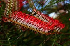 Fleurs tropicales rouges en fleur Photographie stock