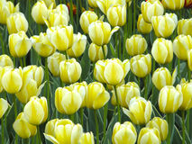 Fleurs Tulipes de ressort Photographie stock