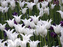 Fleurs Tulipes de ressort Image libre de droits