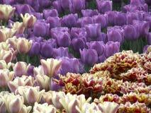 Fleurs Tulipes de ressort Images libres de droits