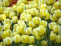 Fleurs Tulipes de ressort Photos stock