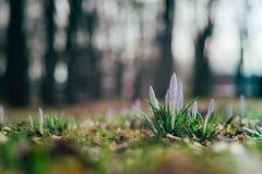 Fleurs Unblown de crocus par le premier ressort image stock