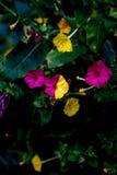 Fleurs uniques avec deux couleurs sur les feuilles images stock