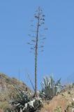Fleurs vertes d'agave photographie stock