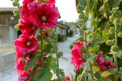 Fleurs vibrantes de rose trémière Photographie stock libre de droits