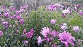 fleurs violetas fotografia de stock royalty free