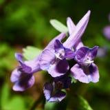 Fleurs violettes Photos stock