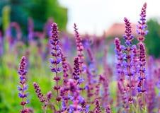 Fleurs violettes Photo libre de droits